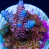 "Reef Raft USA ""Rainbow Blossom"" Signature Acro"