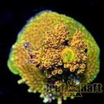 "Reef Raft USA  ""Orange Immolation"" Signature Acro"